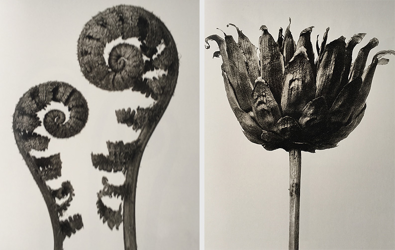 Karl Blossfeldt. Urformen der Kunst