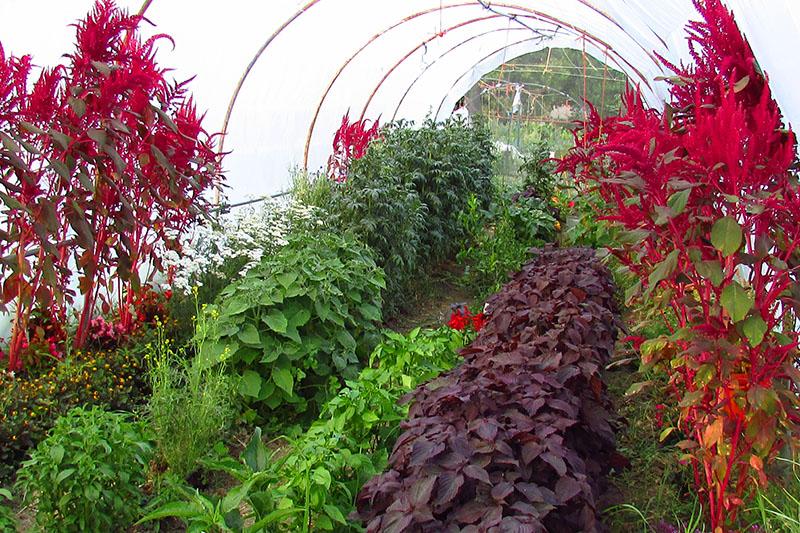 Flores comestibles y bebibles: El jardín del cocinero
